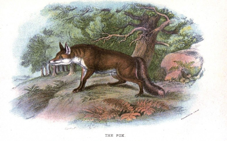 Animal - British mammal (1896) - Woodland - Fox