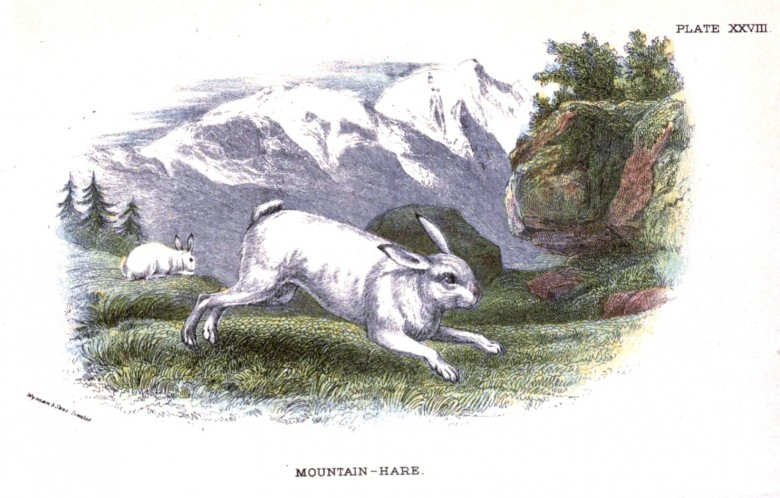Animal - British mammal (1896) - Woodland - Mountain Hare