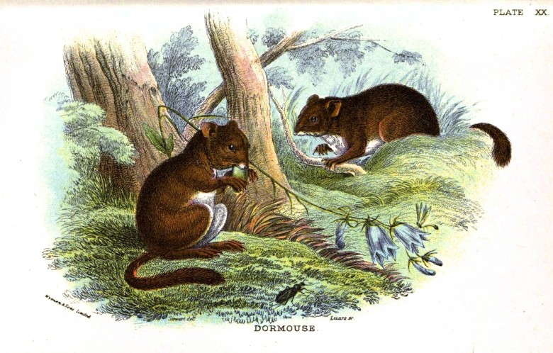 Animal - British mammal (1896) - Woodland - Mouse - Doormouse