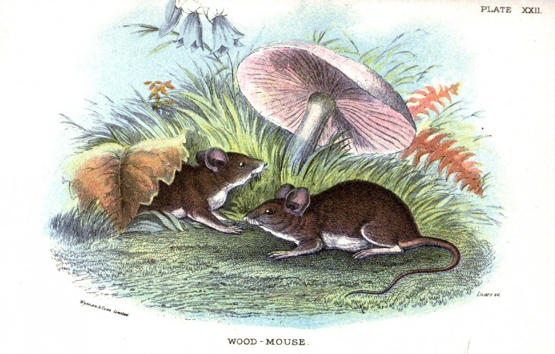 Animal - British mammal (1896) - Woodland - Mouse - Wood Mouse