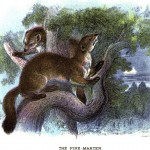 Animal - British mammal (1896) - Woodland - Pine-marten
