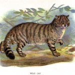 Animal - British mammal (1896) - Woodland - Scottish Wildcat 1896