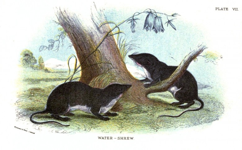 Animal - British mammal (1896) - Woodland - Shrew - Water shrew