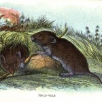 Animal - British mammal (1896) - Woodland - Vole - Field (prairie) vole