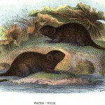 Animal - British mammal (1896) - Woodland - Vole - Water Vole