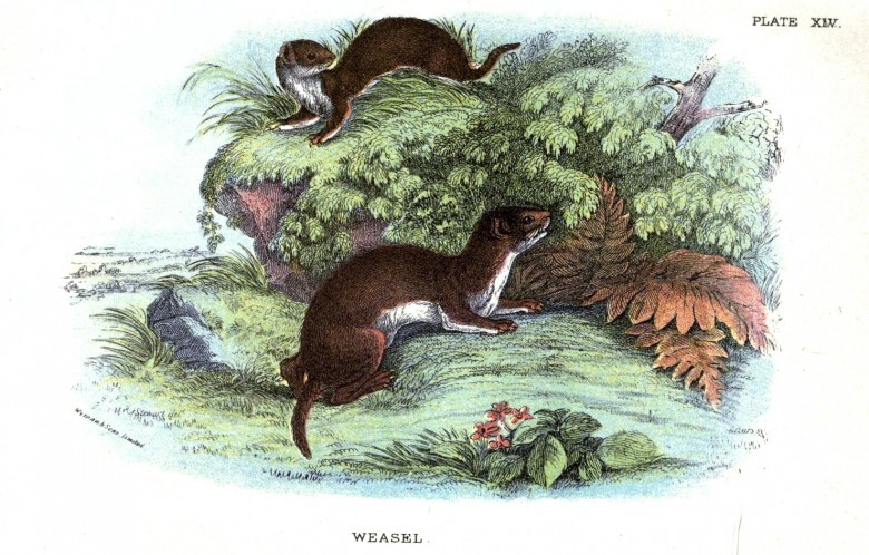 Animal - British mammal (1896) - Woodland - Weasel