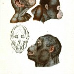 Animal - Non Human Primate - (Chimpanzee) Anatomical, Head