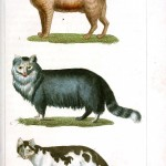 Animal - Buffon - Cat - Educational plate