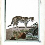 Animal - Buffon - Cat - Female Ocelot