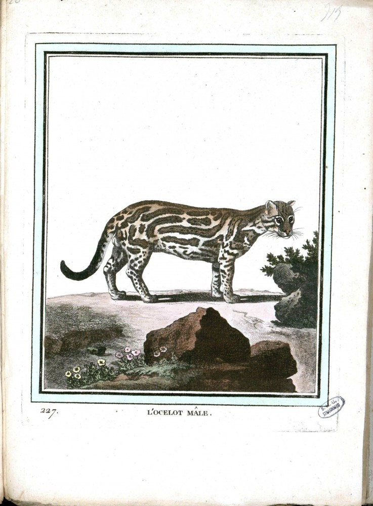Animal - Buffon - Male Ocelot