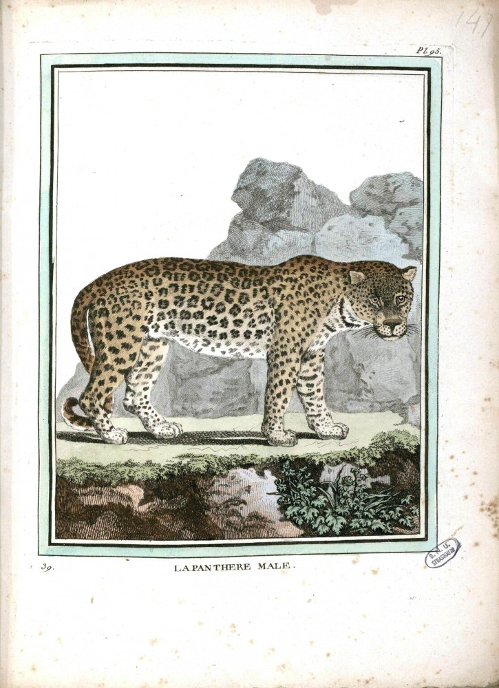 Animal - Buffon - Male Panther