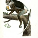 Animal - Buffon - Non Human Primate -  Monkey, Lemur