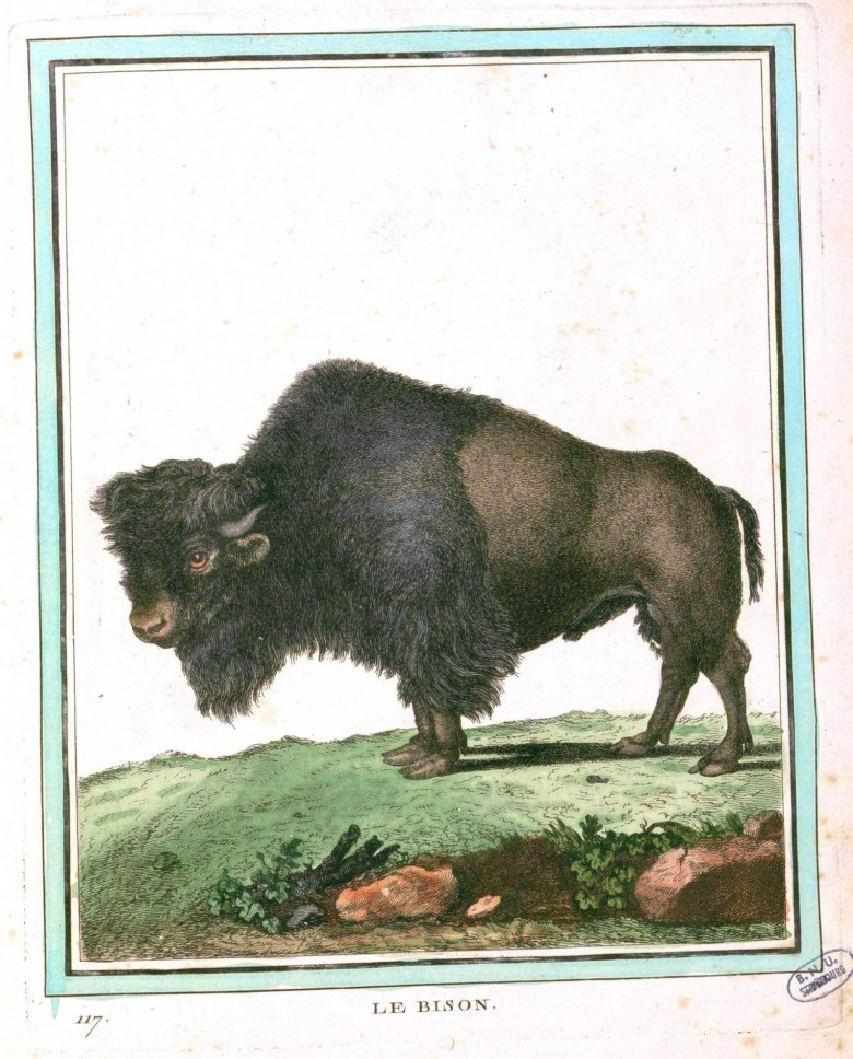 Animal - Buffon - Range and Farm - Bison
