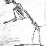 Animal - Cat -  Anatomy - Skeleton 1625