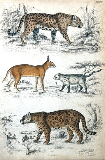 Animal - Cat - Educational plate - Leopards and lynxs