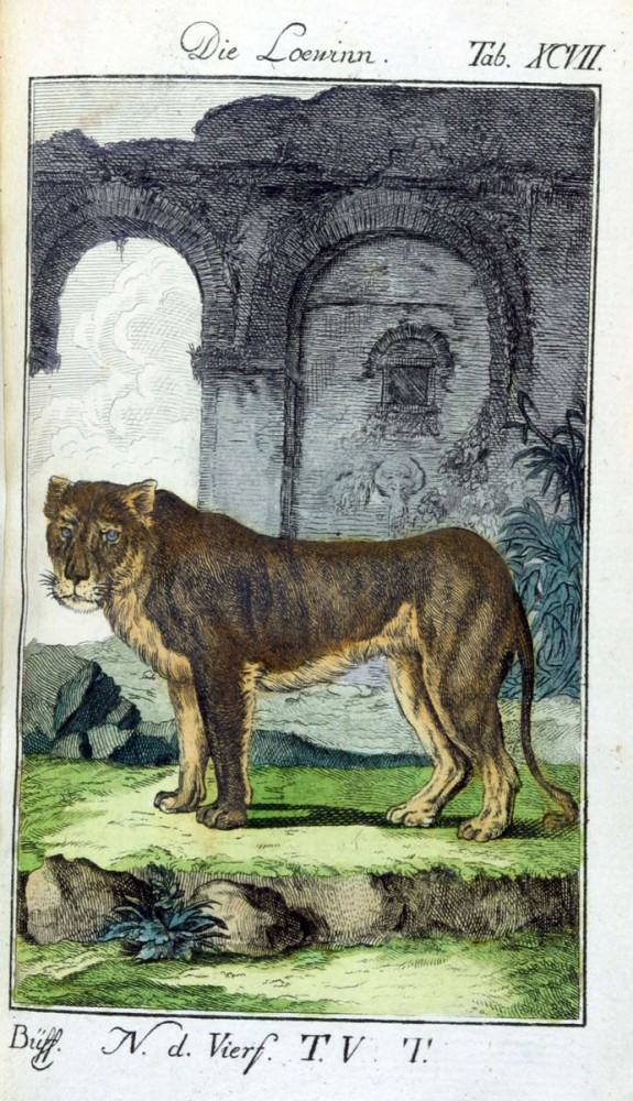 Animal - Cat - Engraving 1785 - German - Tiger
