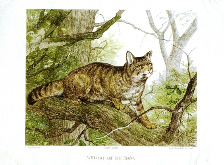 Animal - Cat - European Wild Cat