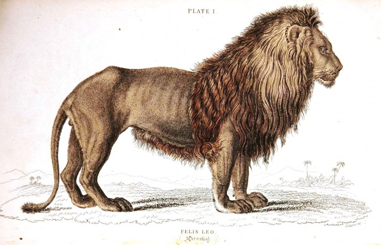 Animal - Cat - Jardine - Lion engraving