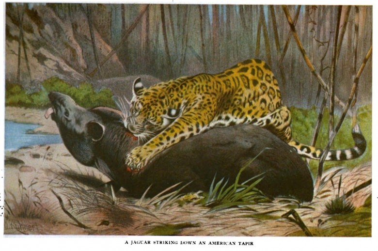 Animal - Cat - Leopard eating Tapir