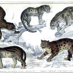 Animal - Cat - Leopard educational plate