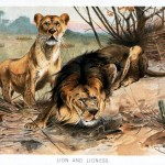 Animal - Cat - Lion and Lioness