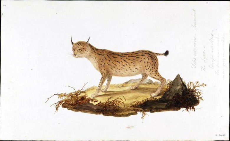 Animal - Cat - Lynx - Felis arvaria  - Animals of the Levant