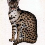 Animal - Cat - Lynx - Primitive