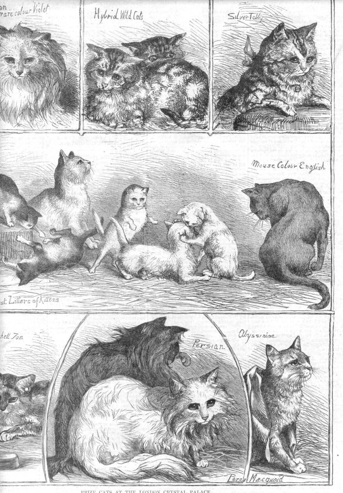 Animal - Cat - Prize cats at the London Crystal Palace 1871