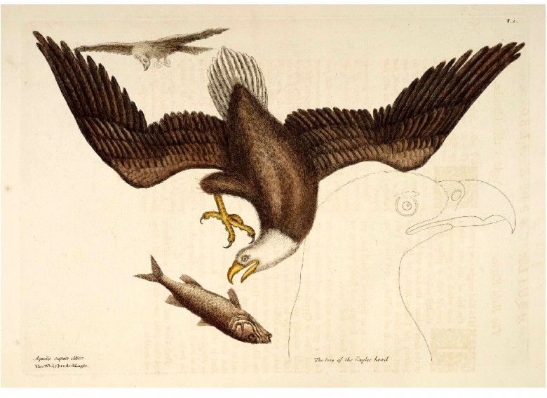 Animal - Catesby - Bird - Bald Eagle