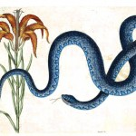 Animal - Catesby - Reptile - Blue snake