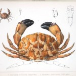 Animal - Crustacean - Crab - (1)