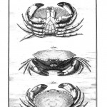 Animal - Crustacean - Crab - (2)