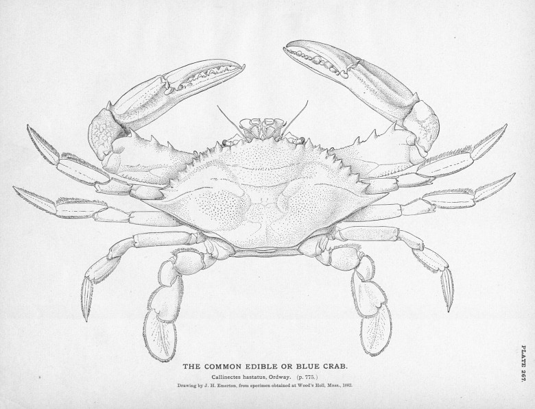 Animal - Crustacean - Crab - Black and white - Blue crab (female)