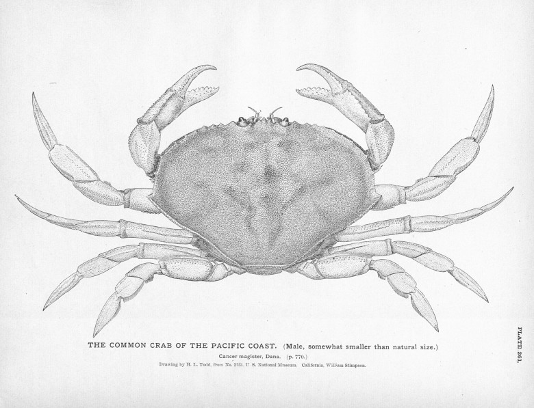 Animal - Crustacean - Crab - Black and white - Common crab
