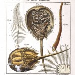 Animal - Crustacean - Crab - Horseshoe crab - (2)