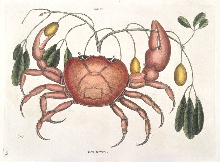Animal - Crustacean - Crab - Land crab, Catesby