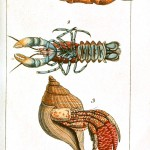 Animal - Crustacean - Lobster - (3)