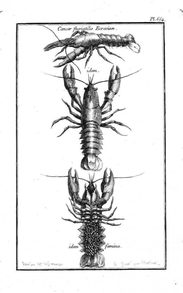 Animal - Crustacean - Lobster - (4)