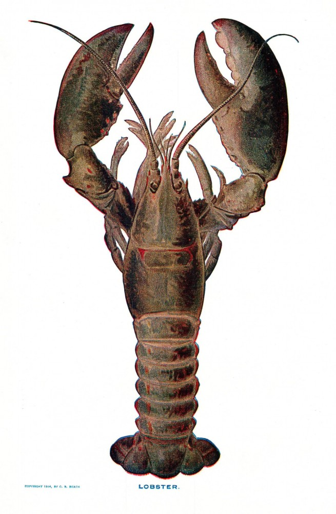 Animal - Crustacean - Lobster - (7)