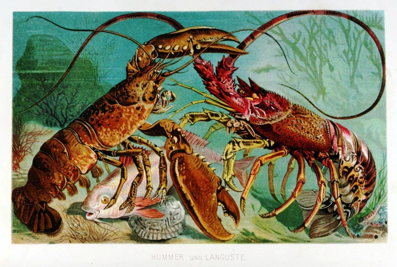 Animal - Crustacean - Lobster - (8)