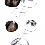 Animal - Curiosity - Bivalves of North America - 1836 -  (11)