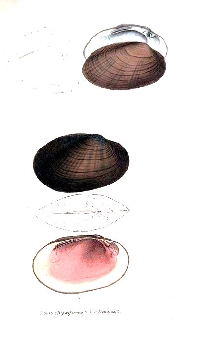 Animal - Curiosity - Bivalves of North America - 1836 -  (12)