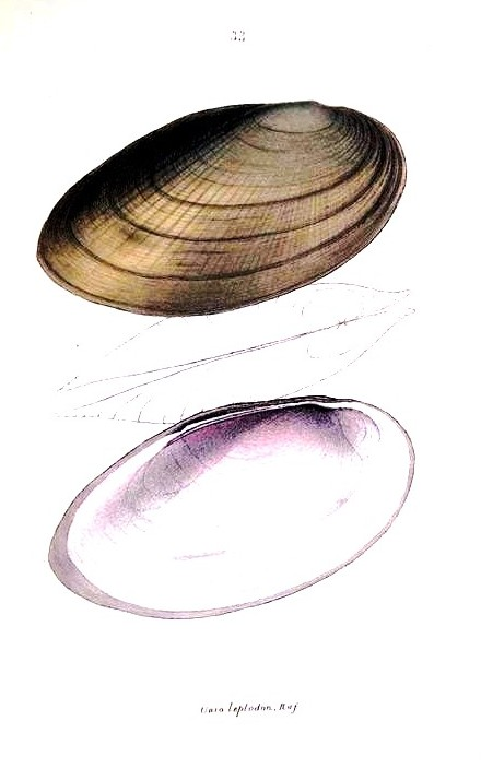 Animal - Curiosity - Bivalves of North America - 1836 -  (13)