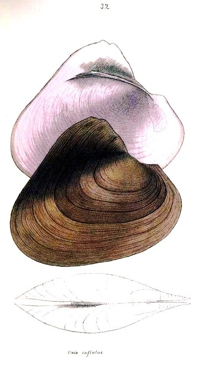 Animal - Curiosity - Bivalves of North America - 1836 -  (14)