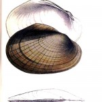 Animal - Curiosity - Bivalves of North America - 1836 -  (16)