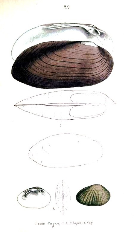 Animal - Curiosity - Bivalves of North America - 1836 -  (17)