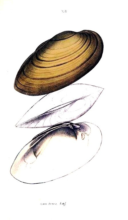 Animal - Curiosity - Bivalves of North America - 1836 -  (18)