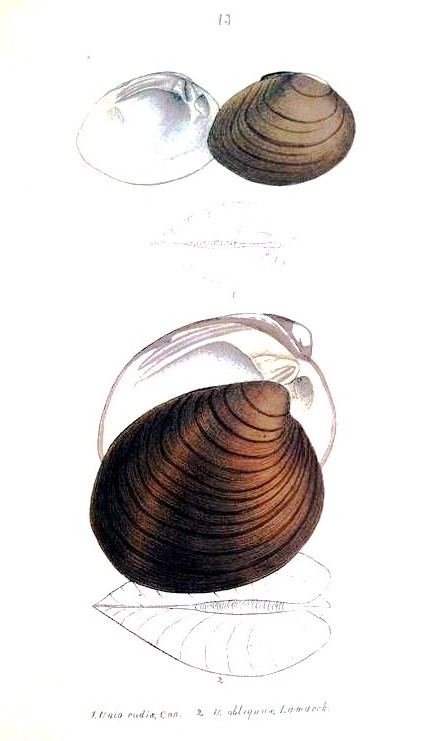 Animal - Curiosity - Bivalves of North America - 1836 -  (2)