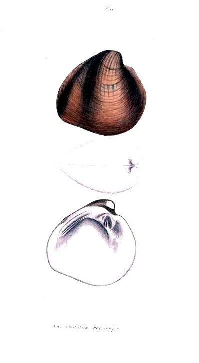 Animal - Curiosity - Bivalves of North America - 1836 -  (21)