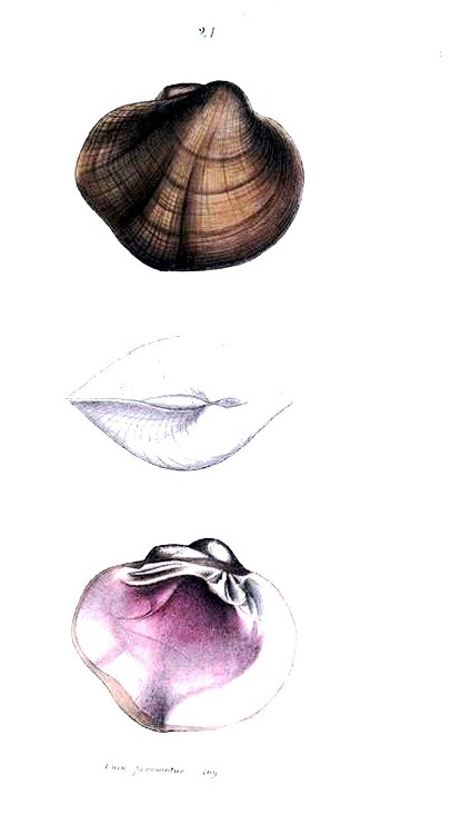 Animal - Curiosity - Bivalves of North America - 1836 -  (22)